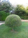 Lollypop buske Fotografering för Bildbyråer
