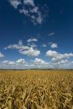 Loma abajo con la cosecha madura del cereal Imagen de archivo libre de regalías