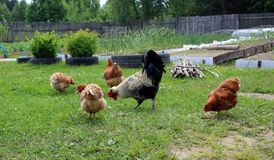 Lomang-Brown chickens. Homemade chickens walking on green grass Stock Photography