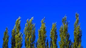 Lombardei-Pappel-Wipfel gegen blauen Himmel auf Windy Day Abstrakter natürlicher Hintergrund lizenzfreies stockfoto