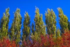Lombardei-Pappel-Wipfel gegen blauen Himmel auf Windy Day Abstrakter natürlicher Hintergrund Autumn Trees, bunter Herbstlaub stockfoto