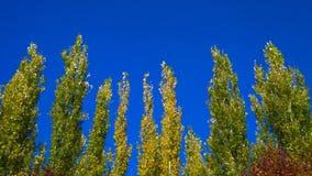 Lombardei-Pappel-Wipfel gegen blauen Himmel auf Windy Day Abstrakter natürlicher Hintergrund Autumn Trees, bunter Herbstlaub lizenzfreie stockbilder
