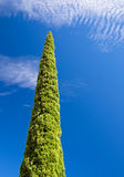 Lombardy Pine Tree and Blue Sky Royalty Free Stock Photos