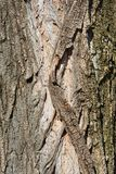 Lombardy poplar. Bark - Latin name - Populus nigra var. italica stock photos
