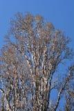 Lombardy poplar. Latin name - Populus nigra var. italica stock photos