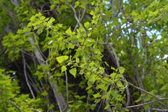 Lombardy poplar. Latin name - Populus nigra var. italica royalty free stock photos
