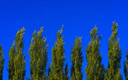 Lombardy Poplar Tree Tops Against Blue Sky On A Windy Day. Abstract Natural Background. royalty free stock photography