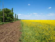 Lombardy poplars. On the edge of a bright rape field on a sunny summer day Royalty Free Stock Images