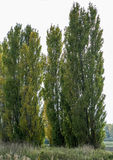 Lombardy poplars in late sun Royalty Free Stock Photos