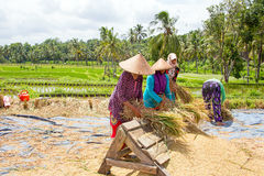 LOMBOK, INDONESIA - DECEMBER 29, 2016: Workers in the rice field. S at work on Lombok, Indonesia the 29th of december 2016 Stock Photos