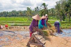 LOMBOK, INDONESIA - 30 DICEMBRE 2016: Raccolta delle lavoratrici Fotografia Stock