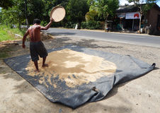 LOMBOK, INDONEZJA - OKOŁO 2014: Mężczyzna suszy out ryż obok drogi na wyspie Lombok w Indonezja Zdjęcia Stock