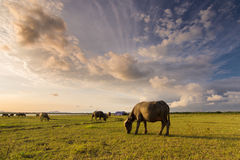 Lombok land av buffeln Royaltyfri Fotografi