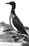 Lomfågel stock illustrationer