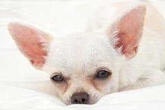 Lona la chihuahua Foto de archivo libre de regalías