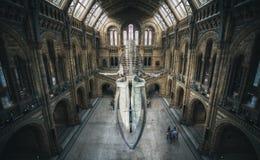 Londen, het UK - 25 Juli, 2017: Het blauwe vinvisskelet in het Biologiemuseum Stock Afbeelding