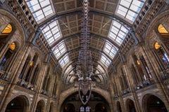 Londen, het UK - 25 Juli, 2017: Het blauwe vinvisskelet in het Biologiemuseum Royalty-vrije Stock Fotografie