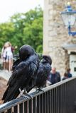 LONDON - AUGUST 21, 2017: Crow in Tower of London, England Stock Photos