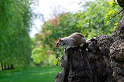 London city / England: Grey squirrel eating peanut in St. James`s park royalty free stock photos