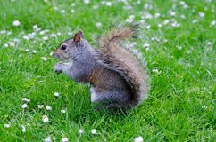 London city / England: Grey squirrel eating peanut in St. James`s park royalty free stock image