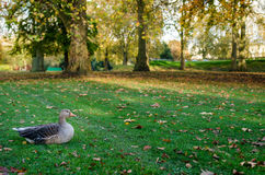 London, duck in St. James Park Royalty Free Stock Images