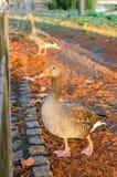 London, ducks in St. James Park Stock Photography