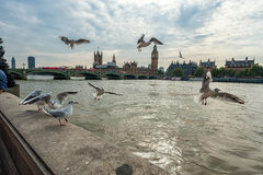 LONDON, ENGLAND - AUGUST 18, 2016: London Downtown with Flying Seagulls and Big Ben, Palace of Westminster and Westminster Bridge Royalty Free Stock Photos