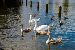 Hyde Park, one of the largest parks in London. LONDON, ENGLAND - JULY 23, 2016: Swans in  the Hyde Park, one of the largest parks in London, and one of the Royal Stock Photography