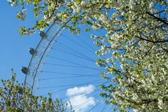 London Eye behind blooming trees Royalty Free Stock Images