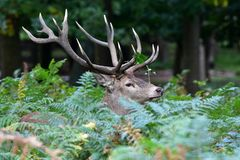 Red deer, Cervus elaphus stock images