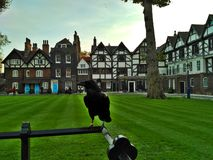 London / Great Britain - October 31 2016: A black raven on the fence in the yard of the Tower of London. Green lawn, houses and trees royalty free stock photo