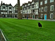 London / Great Britain - October 31 2016: A black raven in the yard of the Tower of London stock photo