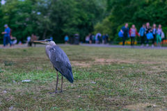 London-Grey Heron in the urban jungle Royalty Free Stock Images