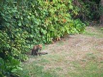 London Großbritannien, städtischer Fuchs, wild, im Garten, unter Hecke lizenzfreies stockfoto