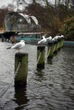 London gulls. Five gulls in London sitting on stakes Royalty Free Stock Images