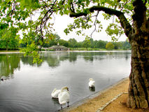 London Hyde Park. Swans in the river at the London Hyde Park Royalty Free Stock Photos