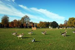 London park. Autumn london park with birds, trees and grass stock photography