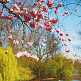 in london   park the pink tree and blossom flowers natural Stock Photos