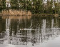 London, parks, ducks - winter 2017. This image shows a view of a pond in one of the parks in London. There`s a duck swimming through it Stock Images
