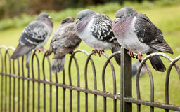 London pigeons Royalty Free Stock Photos