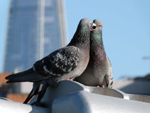 London pigeons in spring Royalty Free Stock Photo