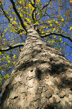 London Plane tree Stock Photo