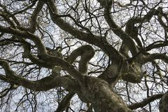 London plane tree. An ancient London plane tree Platanus × acerifolia with twisted branches silhouetted against a grey sky. Taken at Crimsworth House royalty free stock photo