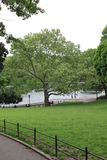 London plane tree in central park. By a  pond Royalty Free Stock Image