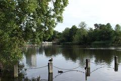 London river ducks Royalty Free Stock Image