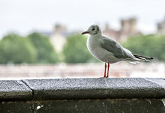 London Seagull Royaltyfria Foton