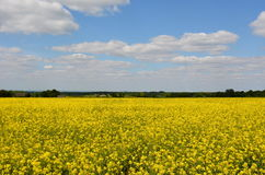 London skyline from yellow meadow. Beaming yellow meadow of broccoli flowers beneath the London skyline on a summers day Royalty Free Stock Images