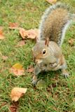 London Squirrel Stock Images