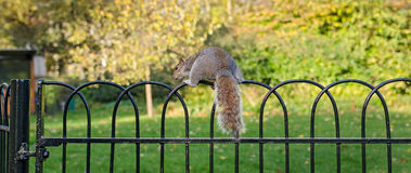 London, squirrel in St James Park Royalty Free Stock Photo