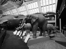 Natural History Museum in London black and white. LONDON, UK - CIRCA JUNE 2017: Elephant, Rhino, whale at the Natural History Museum on Exhibition Road in South stock images